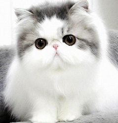 Persian cat price in chennai