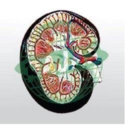 Human Kidney Anatomical Models
