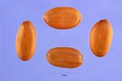 Albizia Seeds