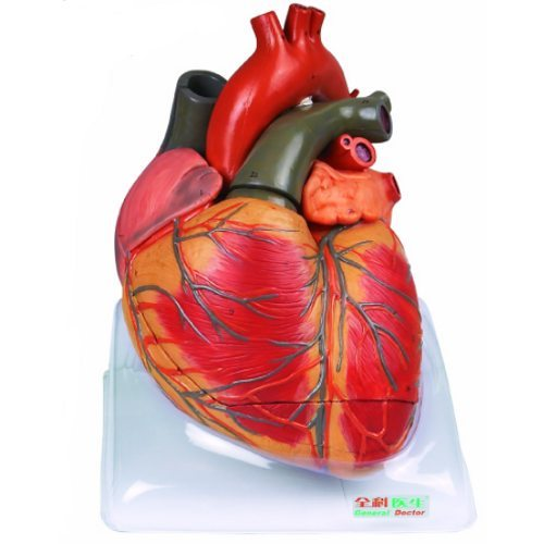 Human Heart Anatomical Model Models Kaccha Bazar Ambala Kay