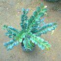 Red Sandalwood Plants