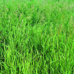 how to grow lucerne grass