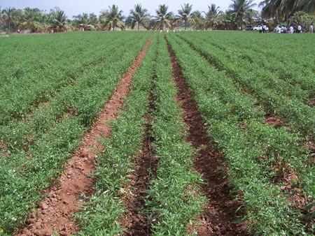Chilli Crops,   Shree Niwas Hitech Nursery in Nashik   ID: 4945859062