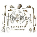 Bone Set Models