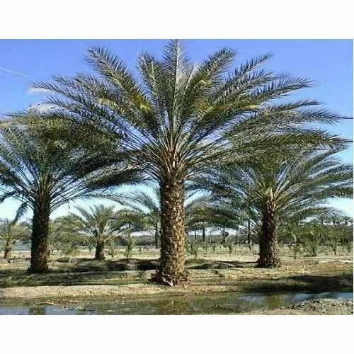 Date Palm Trees Palms Plants Joginder Nursery Delhi Id 9929449473