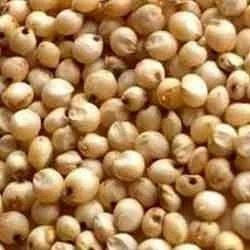 Sorghum Seed
