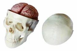 XC-104E Skull Model with 8 Parts Brain