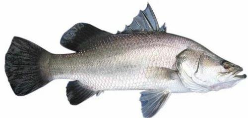 Barramundi bhetki fish marine fishes nerul east navi mumbai s barramundi bhetki fish publicscrutiny Gallery