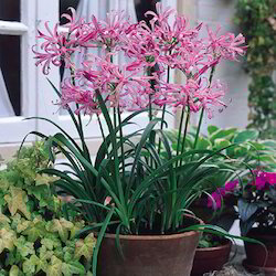 Nerine Lily Flower Bulbs