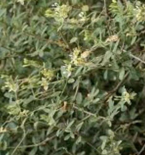 Medicinal Raw Herbs Ayurveda Herbs Siddha Herbs Cadaba Fruticosa