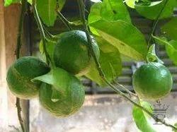Naranga Churna