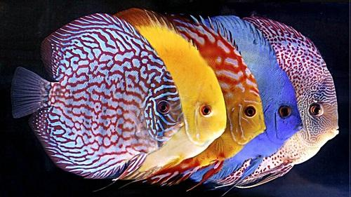Discus fish size 2 inch rs 1000 pair v aquaria id 5019315791 discus fish size 2 inch publicscrutiny Gallery