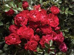 Red Drift Rose