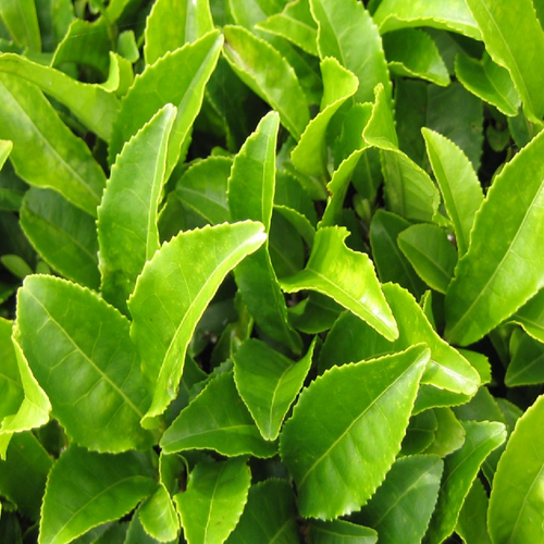 Tea Leaves - Green Tea Leaves Wholesaler from Ahmedabad