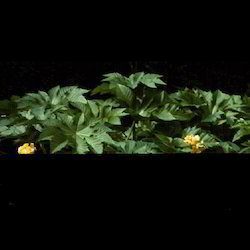 Castor Hybrid Plant