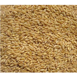Indian Wheat Seeds
