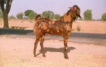 Jaya Cattle Farm, Gingee - Wholesaler of Sirohi Goats and Boer