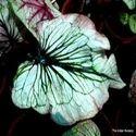 Hybrid Caladiums Foliage Plant