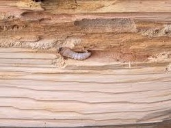 Wood Borers Control Service