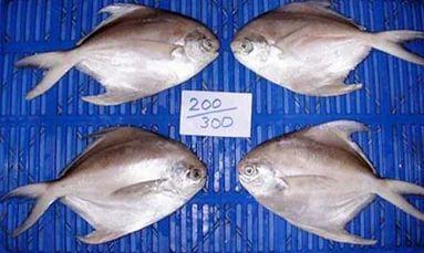Fishes - Silver Pomfret Fish Exporter from Ratnagiri