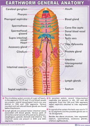 Earthworm General Anatomy Chart - Vijay Shanti Instruments ...