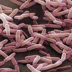 Bacillus Subtilis