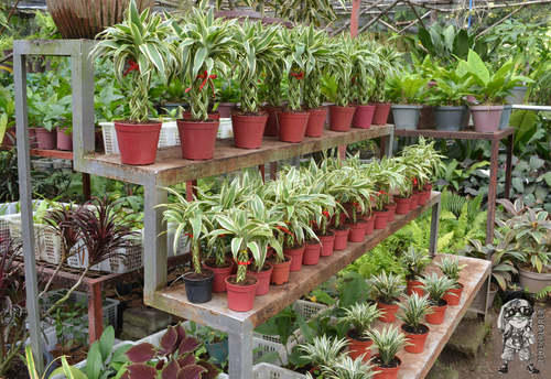 Aglaonema Plant View Specifications Details Of Aglaonema Plant