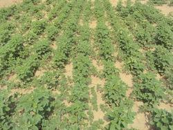 Guar Gum Seed Cultivation Consultancy
