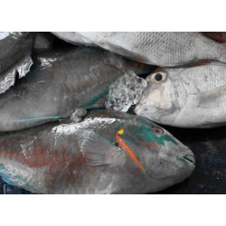 Seawater Fish Parrot Fish Whole