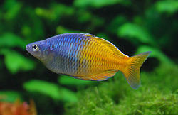 Image result for freshwater rainbow fish