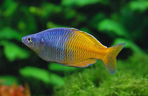 boesemani rainbow fish javed fisheries wholesaler in thane west