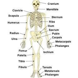 Human skeleton chart peopledavidjoel human skeleton chart ccuart Choice Image