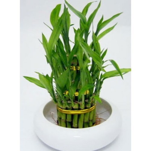 Indoor Plants - 2 Layer Bamboo Lucky Bamboo Plant Manufacturer from ...