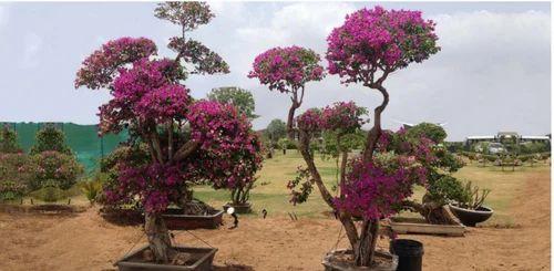 Bougainvillea Plants Bougainvillea Bonsai Tree
