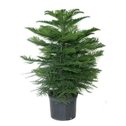 Christmas Tree Plant - Christmas Tree Plant Flora International Service Provider In