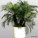 Phoenix Roebeleni Palms