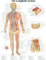 The Lymphatic System Chart