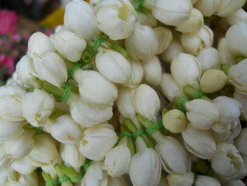 Indian Jasmine Flower View Specifications Details Of Jasmine