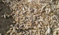 Maize Corn Waste