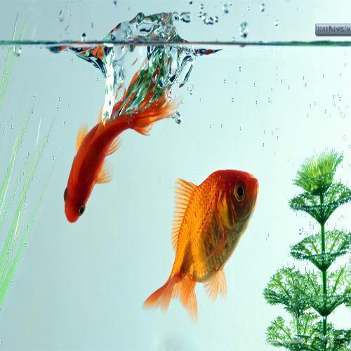 Aquarium Fish in Kolkata - Latest Price & Mandi Rates from