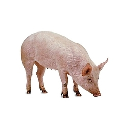 breeding pigs in cambodia