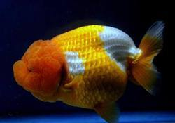 Ranchu Gold Fishes