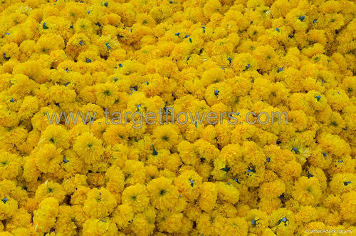 Loose Yellow Marigold Flower Marigold Flower Target Flowers