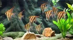 Tropical Aquarium Fishes