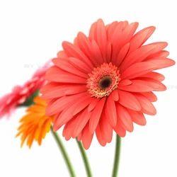 Hybrid Gerbera Flower For Decoration