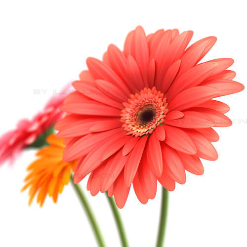 Hybrid Gerbera Flower For Decoration Rs 80 Piece Crazyflora Id 8849666330