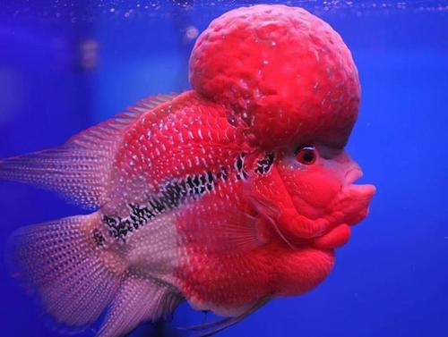 Flower Horn Fish, Live Fish   Madurai   Arima Imports And Exports