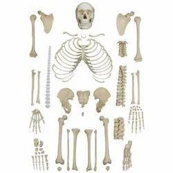 human skeleton in ambala, haryana, india - indiamart, Skeleton