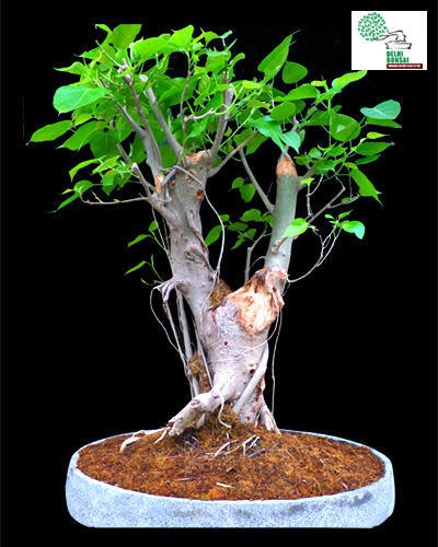 Yamadori Bonsai Ficus Religiosa Bonsai Plants Manufacturer From Delhi