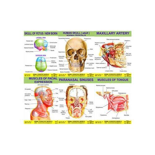 Oswal Anatomy Models - Manufacturer of Anatomical Charts of Head ...